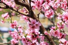 Цветистые цветения персика Стоковые Изображения