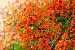 Цветистый или Delonix Regia Стоковые Изображения RF