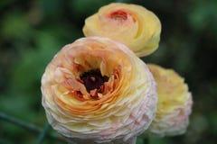 3 цветка георгина на зеленом цвете Стоковое Изображение RF