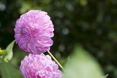 2 цветка георгина продолжения папоротник-орляка: Ориентация ландшафта Стоковое Изображение RF