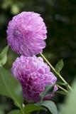 2 цветка георгина продолжения папоротник-орляка: Ориентация портрета Стоковое Фото
