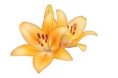 2 цветка лилии желт-апельсина на белой предпосылке Стоковое фото RF