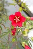 2 цветка красного Стоковые Изображения