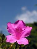 цветка лилии пурпур outdoors Стоковое фото RF