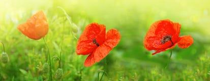 3 цветка мака изолированного на зеленом цвете Стоковые Фото