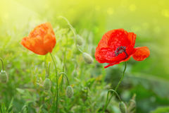 2 цветка мака изолированного на зеленом цвете Стоковое Изображение RF