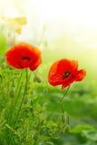 2 цветка мака изолированного на зеленом цвете Стоковые Изображения