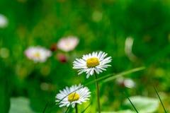 2 цветка маргаритки изолированного от предпосылки Стоковые Изображения