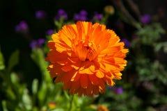 цветка дня calendula поднимающее вверх близкого солнечное Стоковые Изображения RF