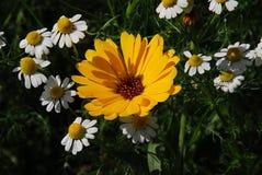 цветка дня calendula поднимающее вверх близкого солнечное Стоковая Фотография RF
