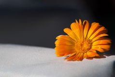 цветка дня calendula поднимающее вверх близкого солнечное Стоковые Изображения