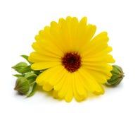 цветка дня calendula поднимающее вверх близкого солнечное Стоковые Фотографии RF