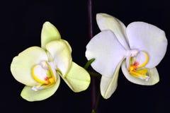 2 цветка орхидей Стоковая Фотография