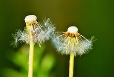 2 цветка одуванчиков перестают к цветению Стоковое Фото