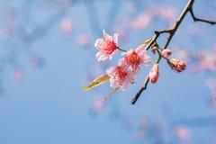 Цветка Сакуры вишневого цвета lo Loei Таиланд lom phu розового восточное Стоковая Фотография RF