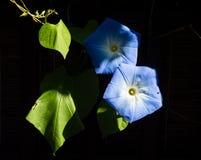2 цветка славы утра Стоковые Фото
