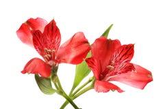 2 цветка alstroemeria стоковая фотография rf