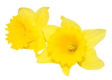 2 цветка Daffodil изолированного на белизне Стоковые Фотографии RF