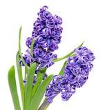2 цветка orientalis Hyacinthus ветви голубых mauve Стоковые Фото