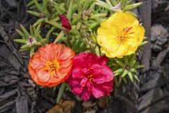 3 цветка Portulaca Стоковая Фотография RF