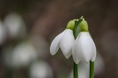 2 цветка snowdrop Стоковые Изображения