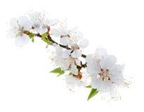 Цветки абрикоса изолированные на белой предпосылке стоковое фото