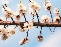 Цветки абрикоса на ветви против неба стоковое фото rf