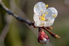 цветки абрикоса Стоковая Фотография