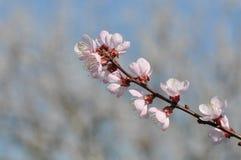 Цветки абрикоса Стоковые Изображения