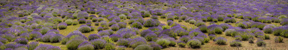 Цветки лаванды на большом поле Стоковые Фотографии RF
