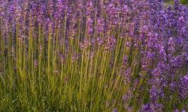 Цветки лаванды на поле Стоковые Изображения