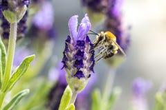 Цветки лаванды пчелы опыляя Стоковое Изображение RF