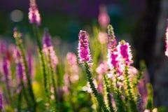 Цветки лаванды стоковое фото