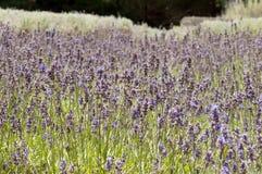 Цветки лаванды стоковое фото rf