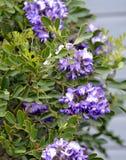 Цветки лавра горы Техаса Стоковое Изображение RF