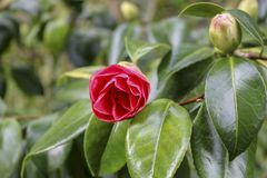 Цветки азалии рододендрона стоковая фотография rf