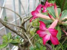 Цветки азалии Adenium использованы как красивые фоновые изображения стоковое изображение rf