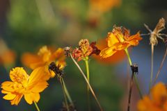 Цветки азалии Sims blossoming под солнцем Стоковые Фотографии RF