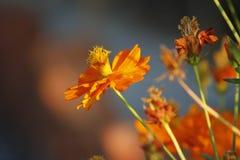 Цветки азалии Sims blossoming под солнцем Стоковые Изображения