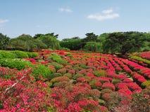 Цветки азалии на парке горы Komuro Стоковые Фото