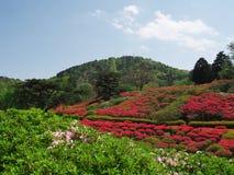 Цветки азалии на парке горы Komuro Стоковые Изображения