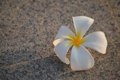 Цветки азалии Стоковые Изображения