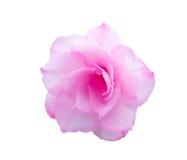 Цветки азалии Стоковое фото RF