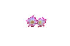 Цветки азалии Стоковые Фотографии RF