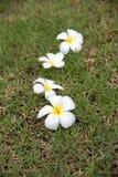 Цветки азалии стоковые фото