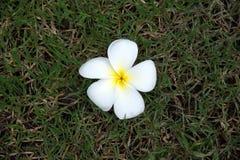 Цветки азалии Стоковое Изображение RF