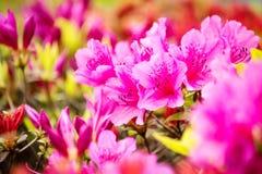 Цветки азалии Стоковая Фотография RF