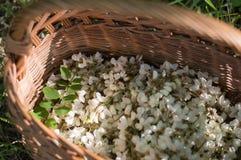 Цветки акации в корзине на поле Стоковые Фотографии RF