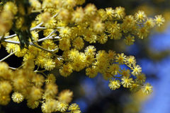 цветки акации Стоковое фото RF