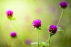 Цветки амаранта глобуса Стоковое Изображение